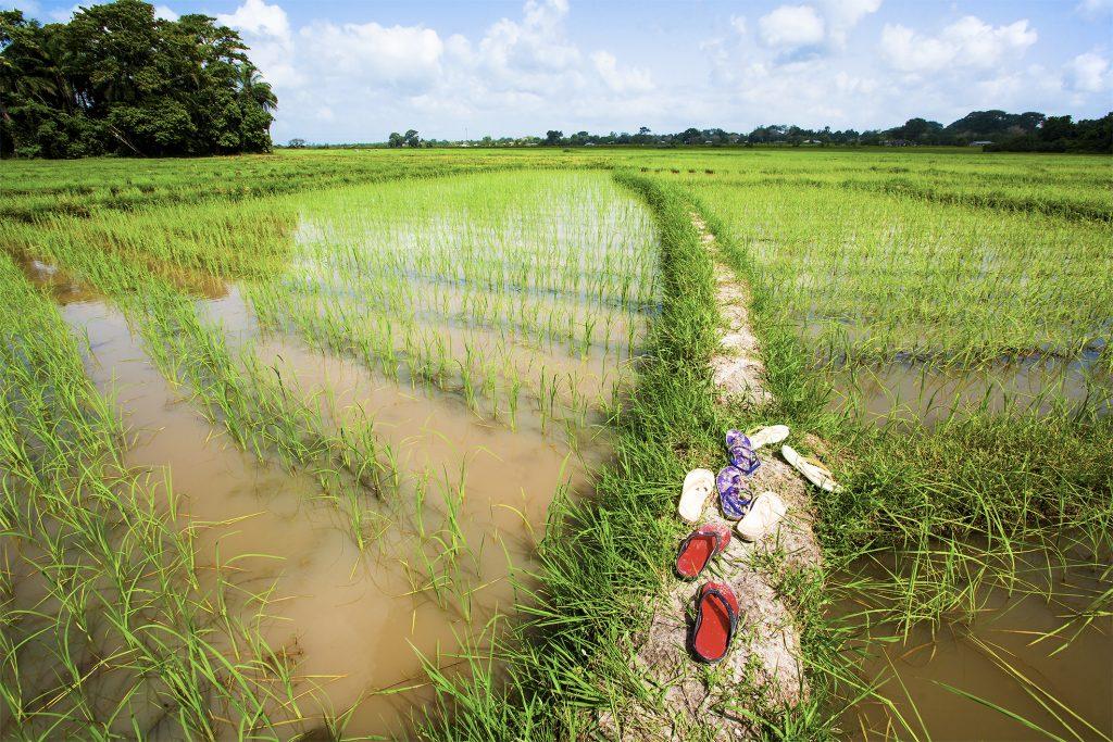 Le riz 4